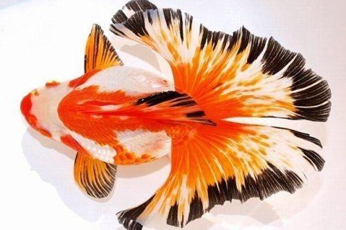 Gambar ikan mas koki Butterfly Tail