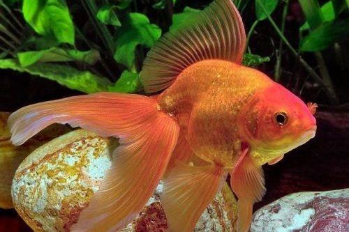 Gambar ikan mas koki Fantail