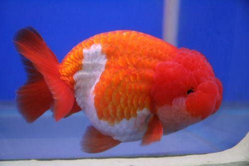 Gambar ikan mas koki Lionchu