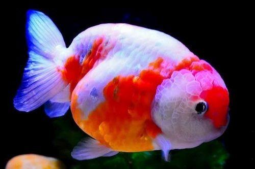 Gambar ikan mas koki Lionhead