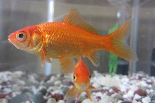 Gambar ikan mas koki biasa