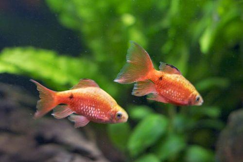 Gambar ikan rosy barb