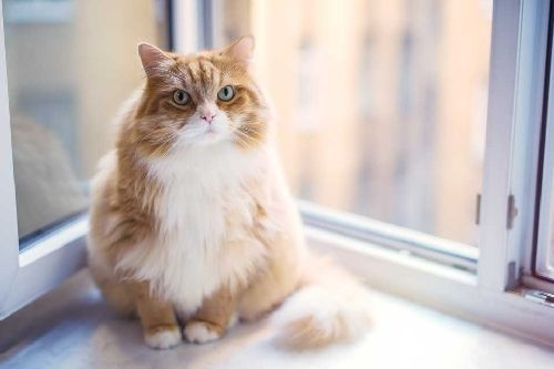 Gambar kucing gemuk lucu