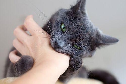 Apa Penyebab Kucing Menggigit Kenali Alasan Kucing Suka Menggigit