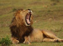 Gambar singa Afrika