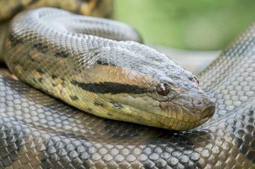 Gambar ular Anaconda