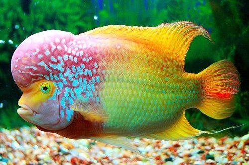 Gambar ikan louhan cantik