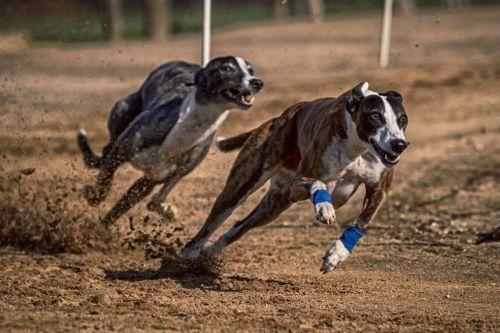 Greyhound lari
