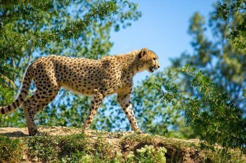 Hewan Cheetah