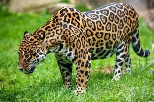 Hewan jaguar