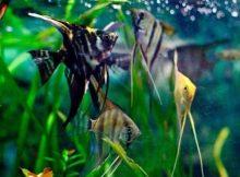 Ikan Angelfish cantik