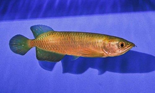 Ikan Arwana Australia