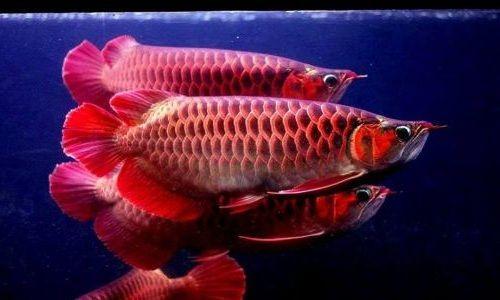 Ikan Arwana Ekor Merah Emas