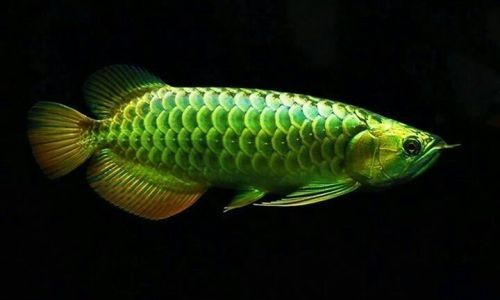 Ikan Arwana Hijau