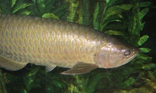 Ikan Arwana Saratoga