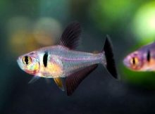 Ikan Black Phantom Tetra