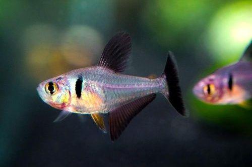 Ikan Black Phantom Tetra