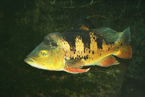 Ikan Butterfly Peacock Bass