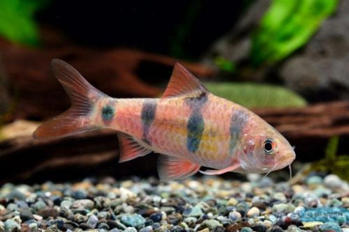 Ikan Clown Barb
