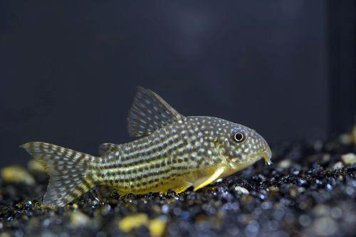 Ikan Corydoras Sterbai