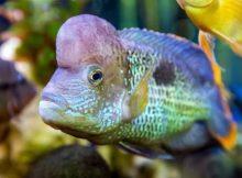 Ikan green terror