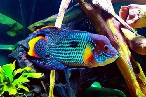 Ikan Green Terror Lucu