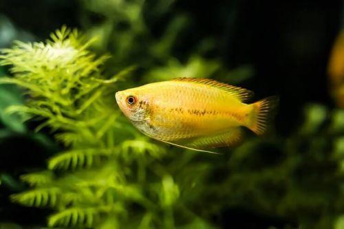 Ikan Honey Gourami