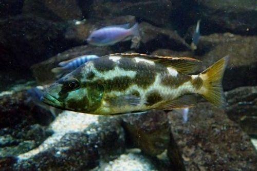 Ikan Livingstons Cichlid