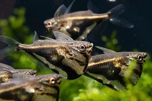 Ikan Marbled Hatchetfish