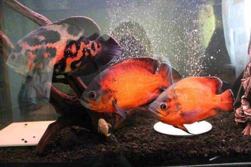 Ikan Oscar Berenang