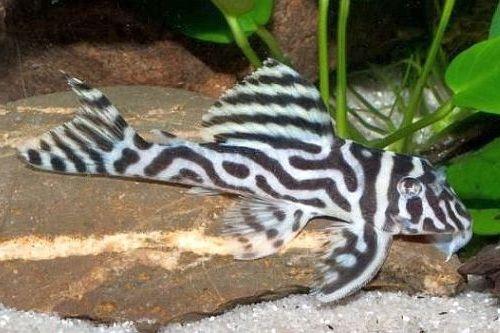Ikan Pleco Zebra