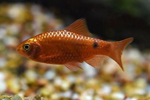 Ikan Rosy Barb