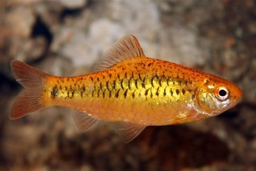 Ikan golden barb