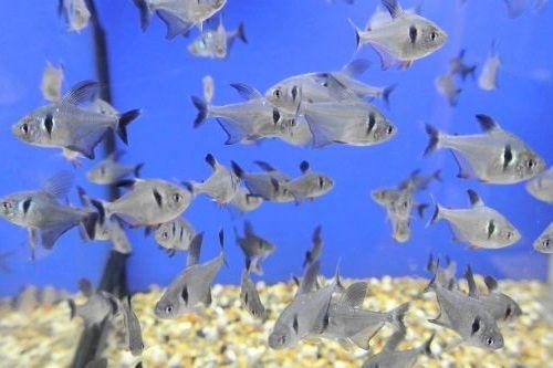 Ikan hias Black Phantom Tetra