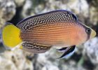 Ikan hias air laut Splendid Dottyback