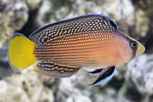 Ikan hias air laut Splendid Dottyback