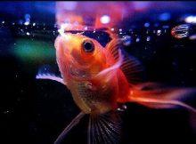 Ikan mas koki makan