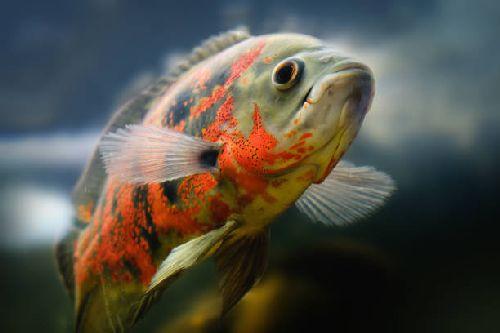 Ikan oscar cari makan