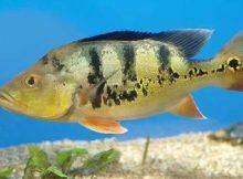 Ikan pbass kupu-kupu