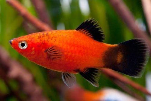 Ikan platy merah
