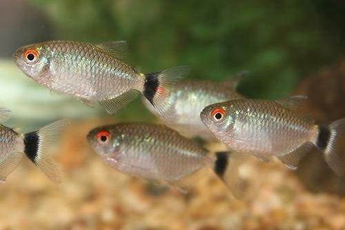 Ikan tetra mata merah