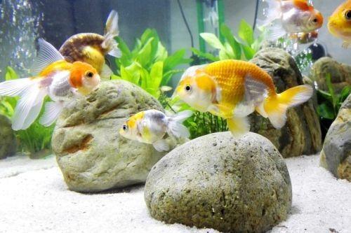 Ikan Mas Koki Lengkap Beserta Gambar Dan Deskripsinya