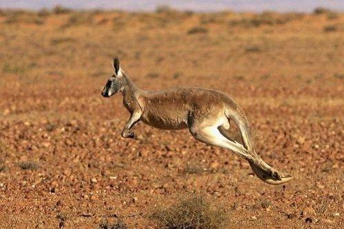 Kanguru lari