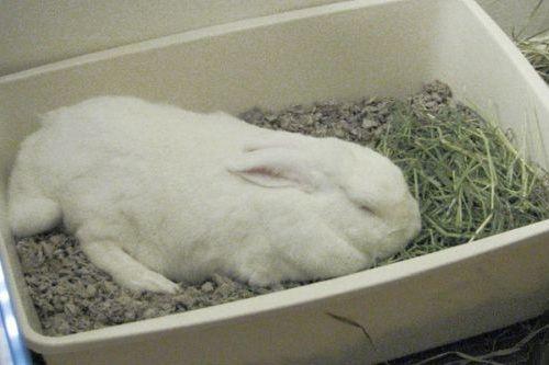 Kelinci tiduran karena sakit