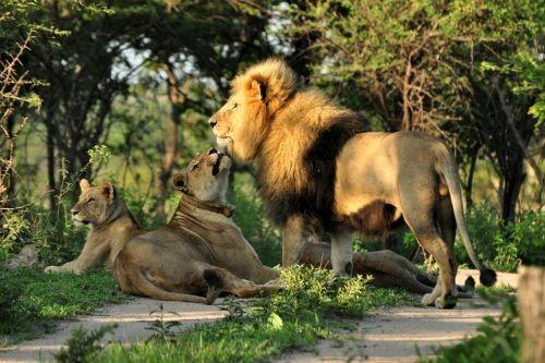 Keluarga Singa Afrika