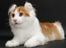 Kucing American Curl