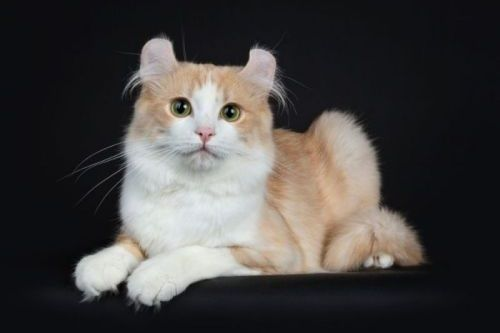 Kucing American Curl Lucu
