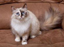 Kucing Birman