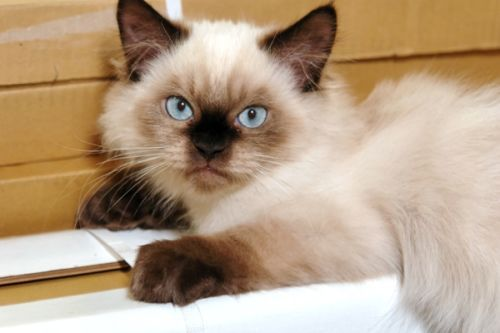 Kucing Himalaya2