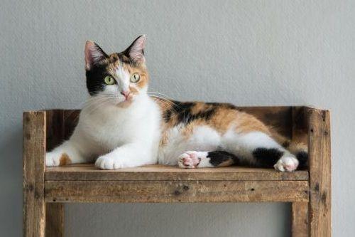 Jenis Jenis Ras Kucing Belang Tiga Populer Dan Perangainya Gerava Ikan Hias Burung Kicau Kucing Anjing